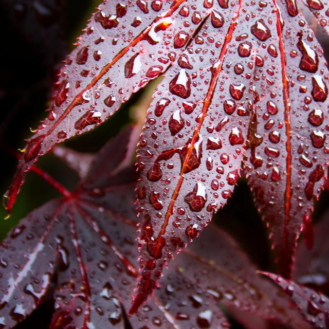 Maple Leaf with Rain 2-2