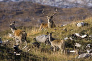 Stag and two hinds