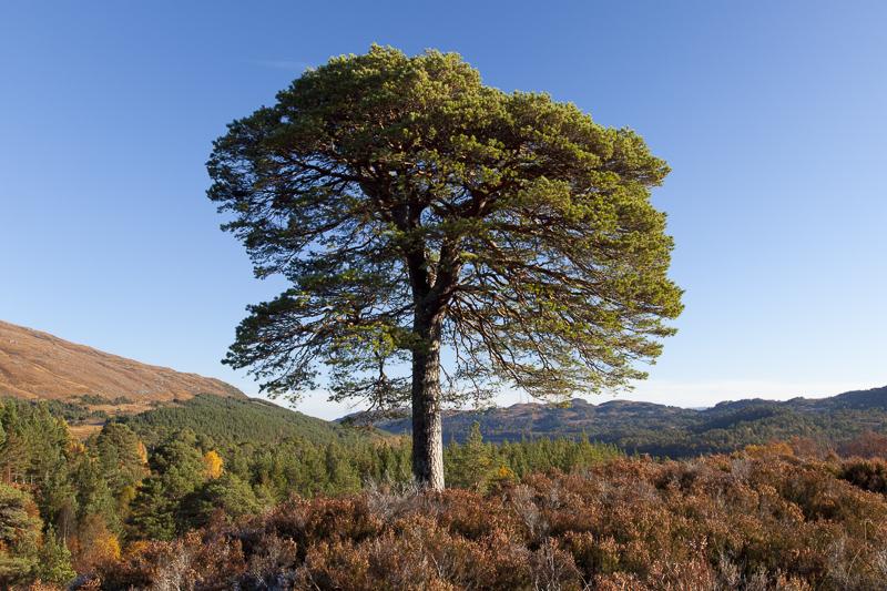 Scots Pine - Glen Affric
