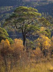 Scots Pine tree, Glen Affric