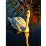 Long swan