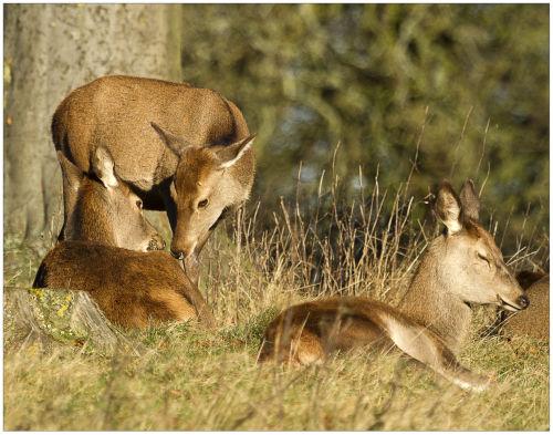 Studley Deer