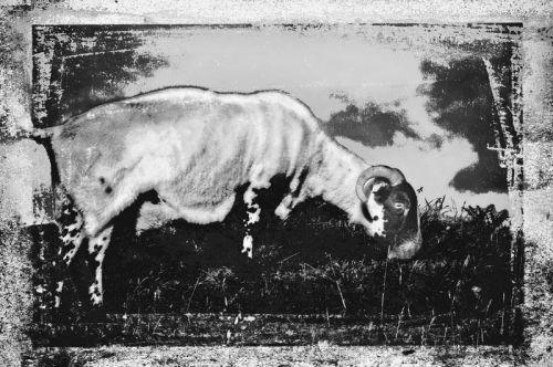 Grunge sheep