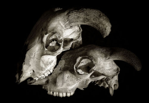 Two Sheep Skulls