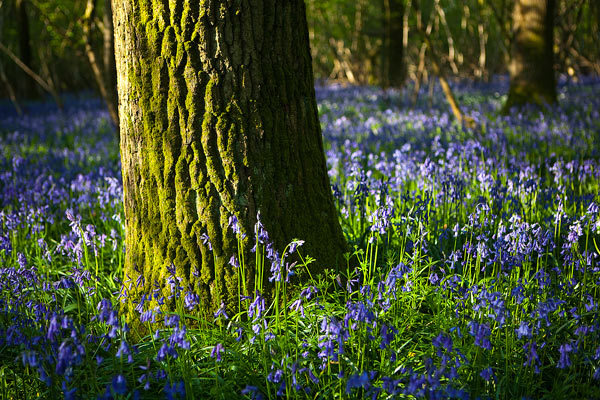 Bluebells and Oak Tree