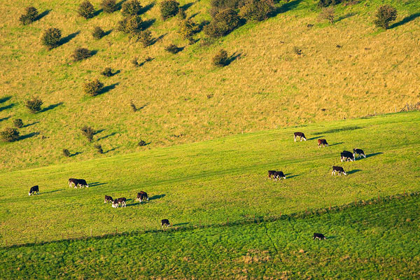 Cattle Grazing on Downland