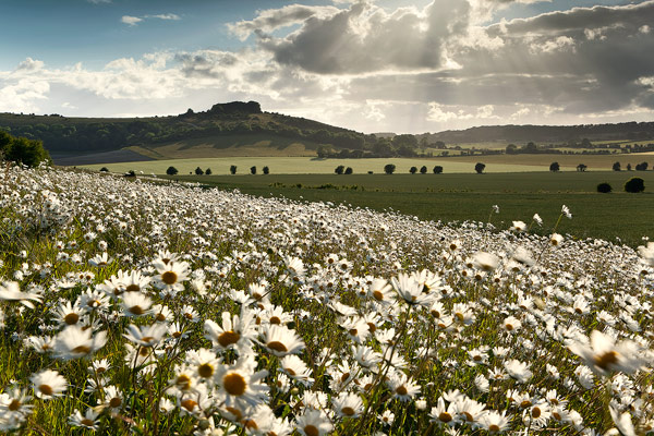 Sutton Down and Ox-eye Daisies