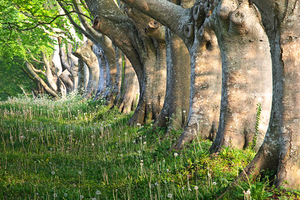 Beech trees Kingston Lacy