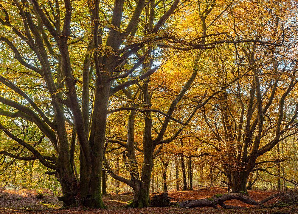 Autumn Beech Trees Carstroman Wood