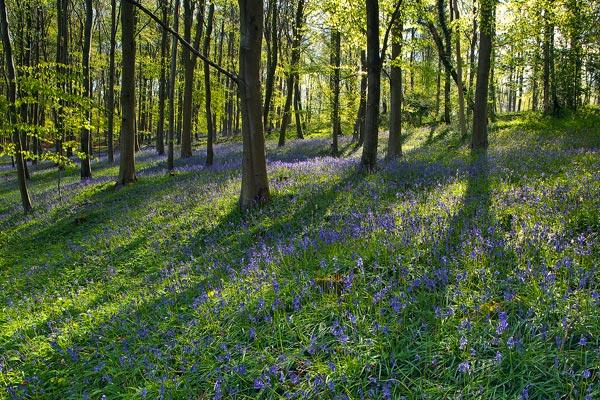 Bluebells Ashmore