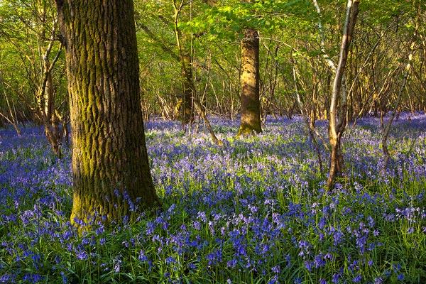 Bluebells Garston Wood