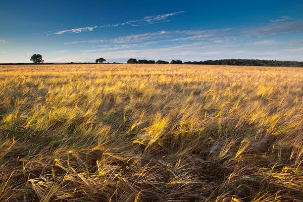Golden Barley by the Ox-Drove