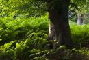 Beech Tree and Bracken