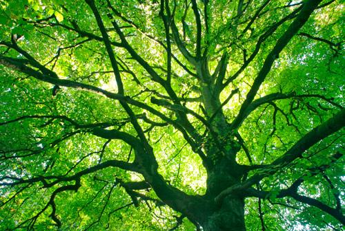 Beechtree Canopy