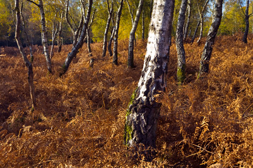 Birch Trees and Bracken