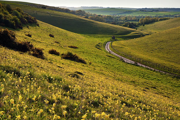Cowslips Cow Down