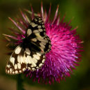 Marbled White on Thistle