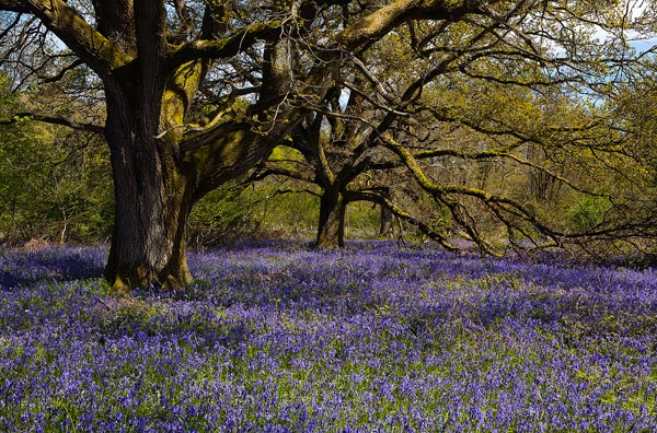 Oak Trees and Bluebells Ashmore