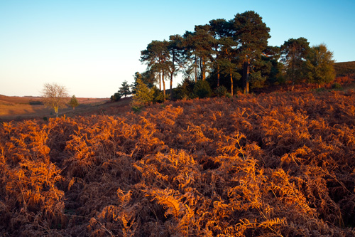 Pine Trees and Bracken Cunninger Bottom
