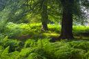 Summer woodland Brately