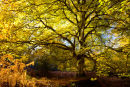 Sun drenched beechtree