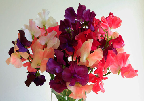 Vase of Sweet Peas