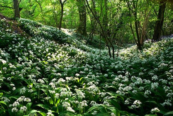 Wild Garlic Wood