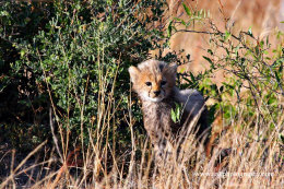 4 week old cheetahs cub