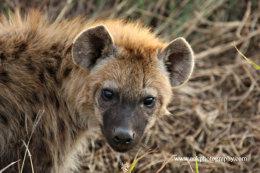 Juvenile Spotted Hyena