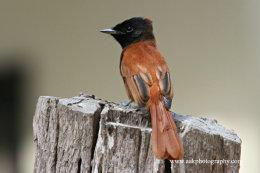 Female Paradise Flycatcher