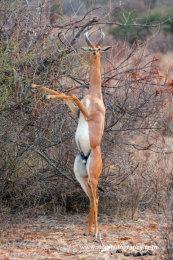 Male Gerenuk