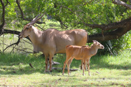 Female Eland with calf