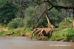 Elephant drinking at the Ewaso Ngiro River