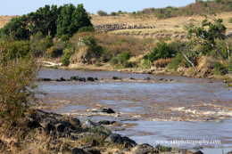 Wildebeest crossing the Mara River on their Migration from the Serengeti in Tanzania