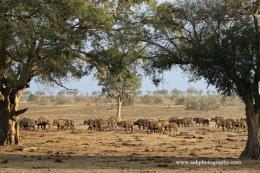 Buffalos heading to waterhole