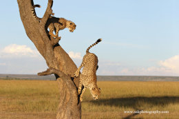 This tree is the mother cheetahs viewing point.
