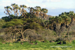 Waterbucks grazing with Doum Palm trees in the background