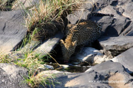 Young Leopard drinking