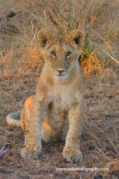 Male Lion cub