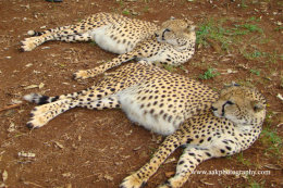 Two Young Male Cheetahs
