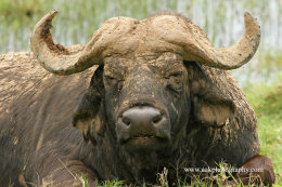 Male Cape Buffalo