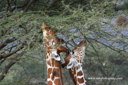 Masai Giraffes feeding on Acacia