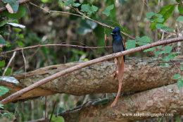 Male Paradise Flycatcher