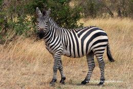 Male Burchell's Zebra