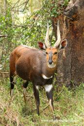 Male Bushbuck