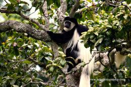 Eastern Black & White Colobus Monkey