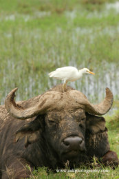 Cape Buffalo with Cattle Egret
