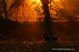 Baboons in Sunset