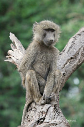 Young Male Olive Baboon