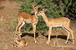 Impala fawns